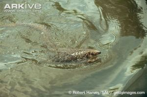 Three-cusped-pangolin-swimming