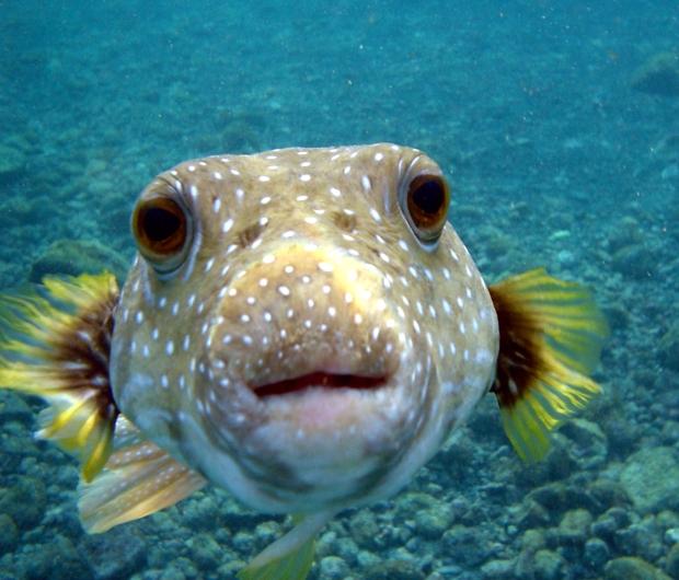 puffer_fish_dsc01257
